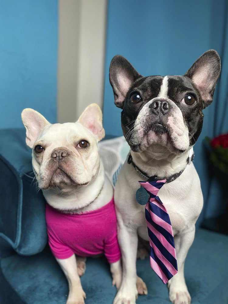 Two french bulldogs standing next to each other, one on the left has a bright pink shirt on, and is a white dog, and the one on the right is a black and white french bulldog with a striped navy and pink tie.